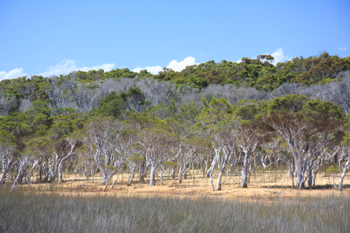 Trees at Broke Inlet, Walpole WA