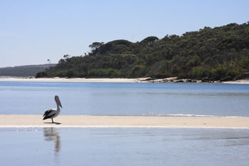 Western Australian Pelican on Oyster Harbour, Albany