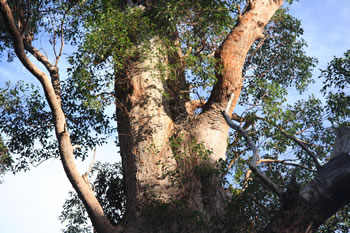 Giant Eucalypt, The Giant Tingle Tree