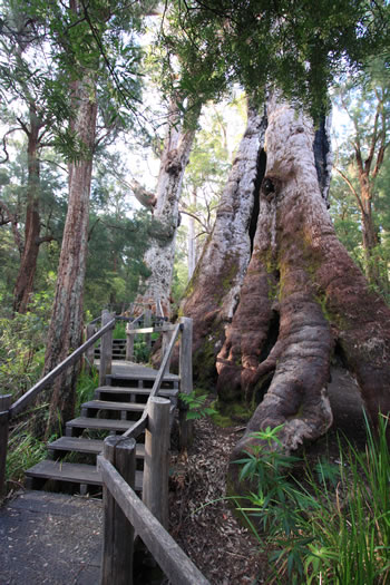 The Giant Tingle Tree, sometimes called Grandmother Tingle, the oldest living Giant Eucalypt