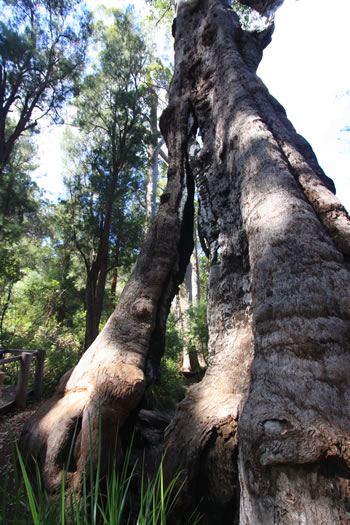 Giant Tingle Trees of the South West