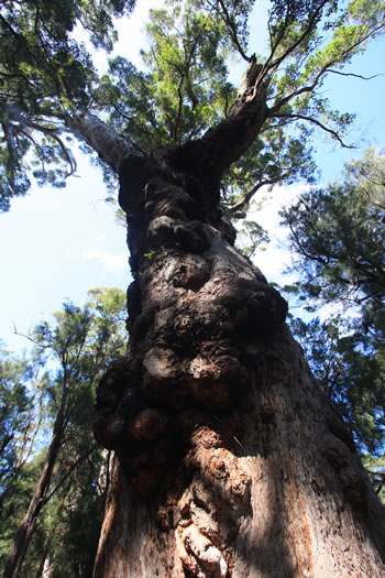 Giant Eucalypt Branches and Foliage