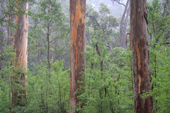 Karri Trees on Mount Frankland