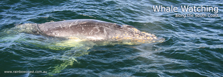 Whale Watching Tours, Albany Australia - Humpback Whale Photo