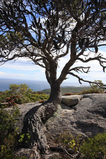 Determined Tree at Stony Hill, Torndirrup NP, Albany