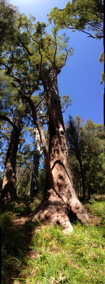Giant Red Tingle: Eucalyptus jacksonii
