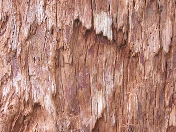 Giant Tingle Tree Bark