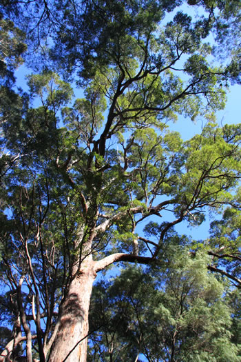 Ancient Forests, Mount Frankland, Walpole, Western Australia