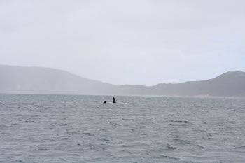 Whale Watching in Albany, Australia