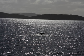 Whale Tale Photograph