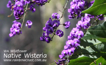 Wildflower - Native Wisteria, Denmark, WA