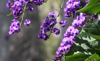 Native Wisteria